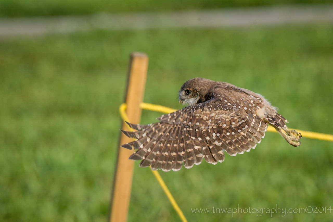 From One Burrow to the Other Burrowing Owl - Brian Piccolo Park Cooper City, Florida © 2014