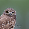 Closeup of a curious Burrowing Owlet in Florida