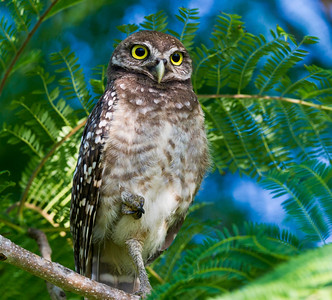 """Tropical Owl"" Young Burrowing Owl @ Brian Piccolo Park Cooper City, Florida © 2013"