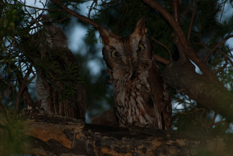 Adult screech owl. Runge Conservation Area, Jefferson City, Cole County, Missouri.