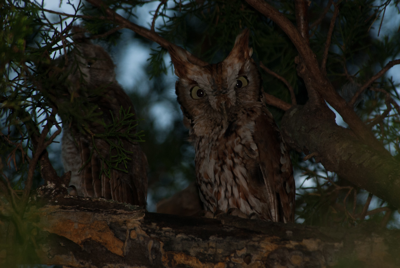 Adult screech owl. Runge Conservation Area, Jefferson City, Cole County, Missouri.