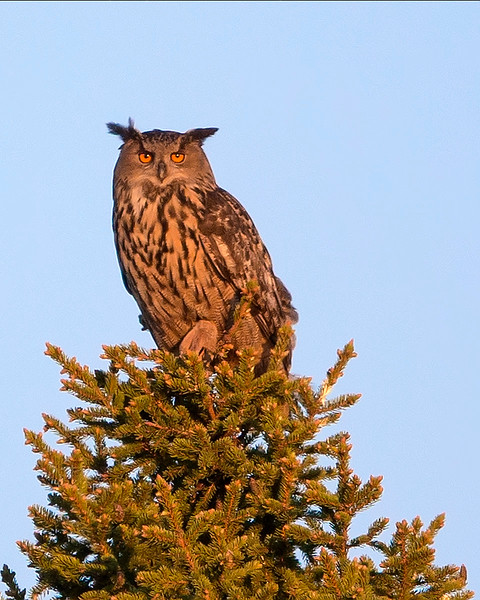 This photograph of a Eurasian Eagle Owl was captured in the Oulu area of Finland (6/15). This photograph is protected by International and U.S. Copyright Laws and shall not to be downloaded or reproduced by any means without the formal written permission of Ken Conger Photography.