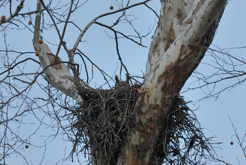Great horned owl sitting on her nest. Columbia, Boone County, Missouri.