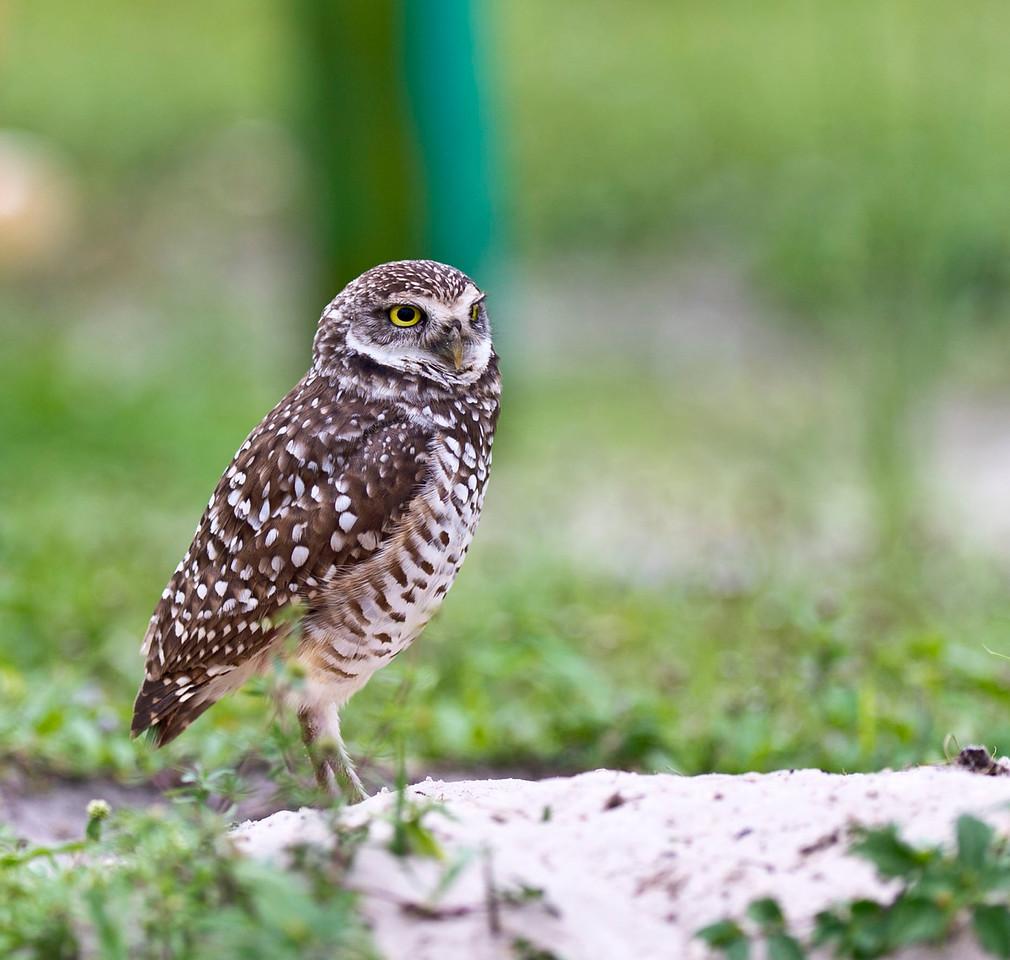 Burrowing Owl Brian Piccolo Park Cooper City, Florida © 2012