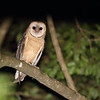 Wild Barn Owl in Costa Rica