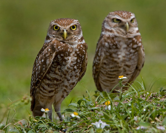 These Burrowing Owls were photographed in Brian Piccolo Park, Florida (4/08).   This photograph is protected by the U.S. Copyright Laws and shall not to be downloaded or reproduced by any means without the formal written permission of Ken Conger Photography.