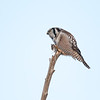 Northern Hawk Owl holding a mouse in his talons in Ontario, Canada.