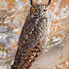 Bosque Del Apache Great Horned Owl