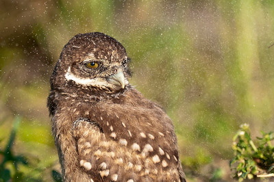Young Burrowing Owl Sandblasted Brian Piccolo Park Cooper City, Florida © 2013