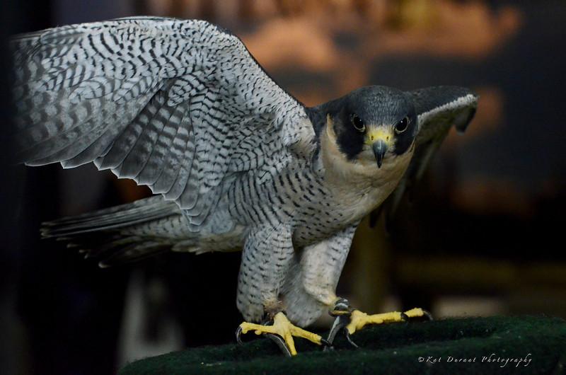 Owls 46