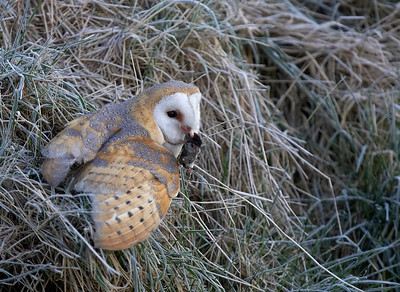 Barn owl with prey on frosty morning