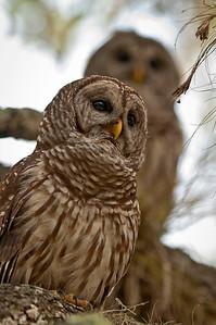 Barred Owls Dinner Island Ranch WMA Hendry County, Florida © 2012