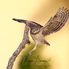 Burrowing Owlet balancing learning to fly in Cape Coral, Florida