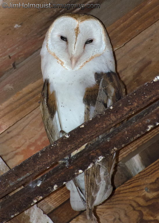 Barn Owl - near Idaho Falls, Id