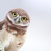 Curious Burrowing Owlet in Cape Coral, Florida.