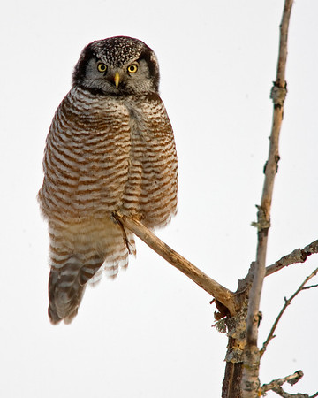 This photograph of a Northern Hawk Owl was captured in the Sax Zim bog near Cotton, MN (2/09).  This photograph is protected by the U.S. Copyright Laws and shall not to be downloaded or reproduced by any means without the formal written permission of Ken Conger Photography.