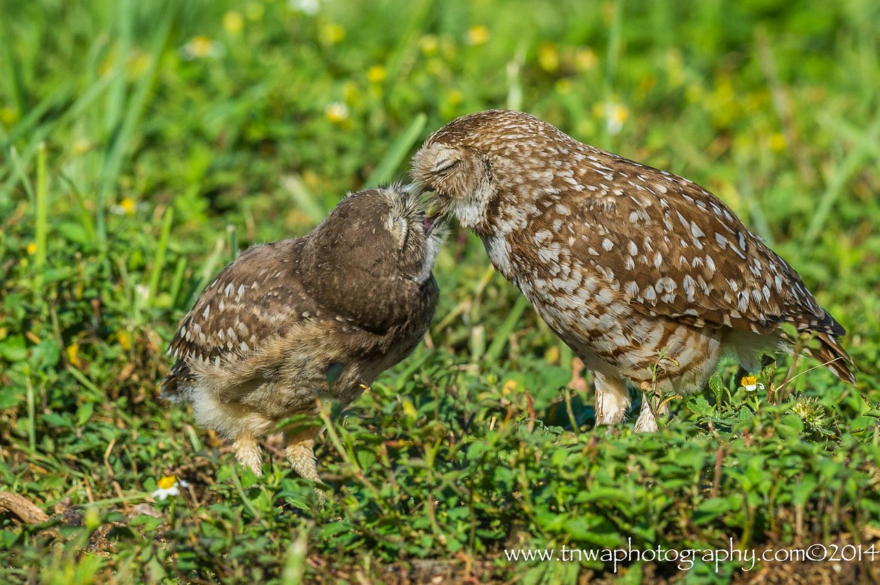 Burrowing Owl Affection Brian Piccolo Park Cooper City, Florida © 2014