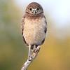 Florida Burrowing Owlet