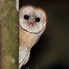 Juvenile Barn Owl in Costa Rica