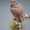 Wet Burrowing Owlet after a rainstorm in Florida.