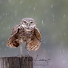 Adult Male Burrowing Owl during heavy rain in Florida.