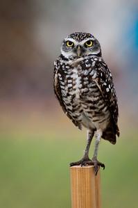 Burrowing Owl Brian Piccolo Park, Cooper City, Florida © 2010