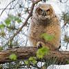 Immature Grat Horned Owl