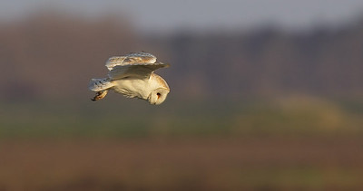 Barn owl hunting in evening