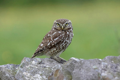 Little owl on dry stone wall