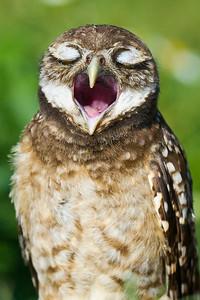 Monday Morning Blues - Burrowing Owl Brian Piccolo Park Cooper City, Florida © 2013