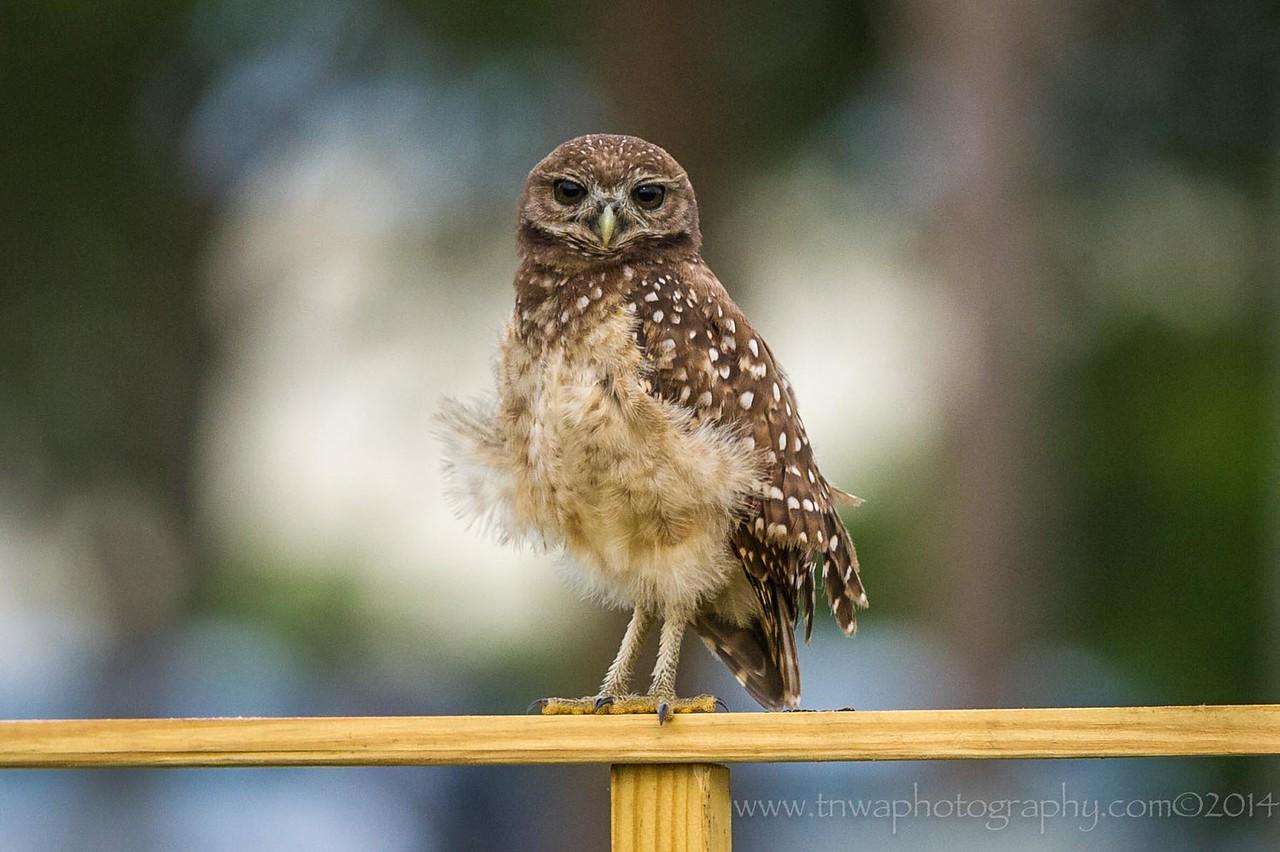 Burrowing Owl Petticoat Feathers Brian Piccolo Park Cooper City, Florida © 2014