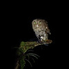 Vermiculated Screech Owl in Costa Rica