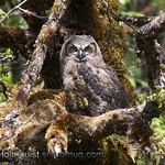 Great-horned Owl - Juvenile at Scattercreek near Olympia, Wa. Taken in 2011.