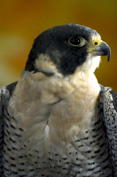 Owls 36