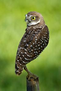 Juvenile Burrowing Owl on Perch Brian Piccolo Park Cooper City, Florida © 2013
