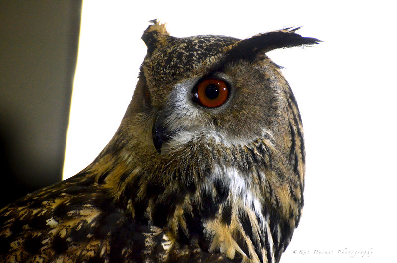 Bubo,affectionately called Boo by his trainer.