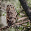 "This photograph of a Ural Owl chick was captured in the Oulu area of Finland (6/15). <font color=""RED""><h5>This photograph is protected by International and U.S. Copyright Laws and shall not to be downloaded or reproduced by any means without the formal written permission of Ken Conger Photography.<font color=""RED""></font></h5></font>"