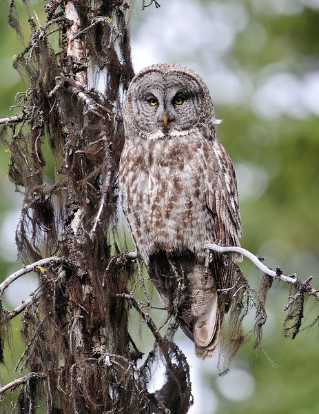 Great Gray Owl, McCall, ID