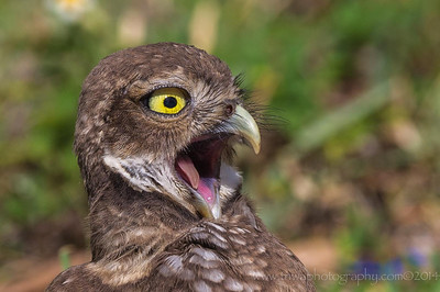 What??? Burrowing Owl - Brian Piccolo Park Cooper City, Florida © 2014