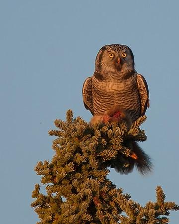 Denali National Park Hawk Owl