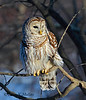 Barred Owl as sunset approaches.