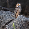 "This photograph of a Rock or Indian Eagle Owl was captured in Bera, India (5/14). <font color=""RED""><h5>This photograph is protected by the U.S. Copyright Laws and shall not to be downloaded or reproduced by any means without the formal written permission of Ken Conger Photography.<font color=""RED""></font></h5></font>"
