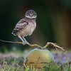 Burrowing Owlet balancing on a coconut in Cape Coral, Florida