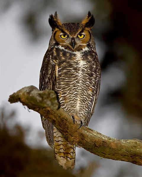Loxahatchee National Wildlife Refuge Great Horned Owl