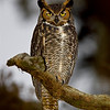 Loxahatchee National Wildlife Refuge Great Horned Owl
