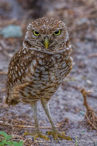 What Did You Say? Burrowing owl guarding burrow @ Brian Piccolo Park Cooper City, Florida © 2014