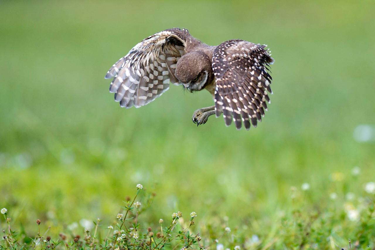 Juvenile Burrowing Owl in Tuck & Dive Brian Piccolo Park Cooper City, Florida © 2013