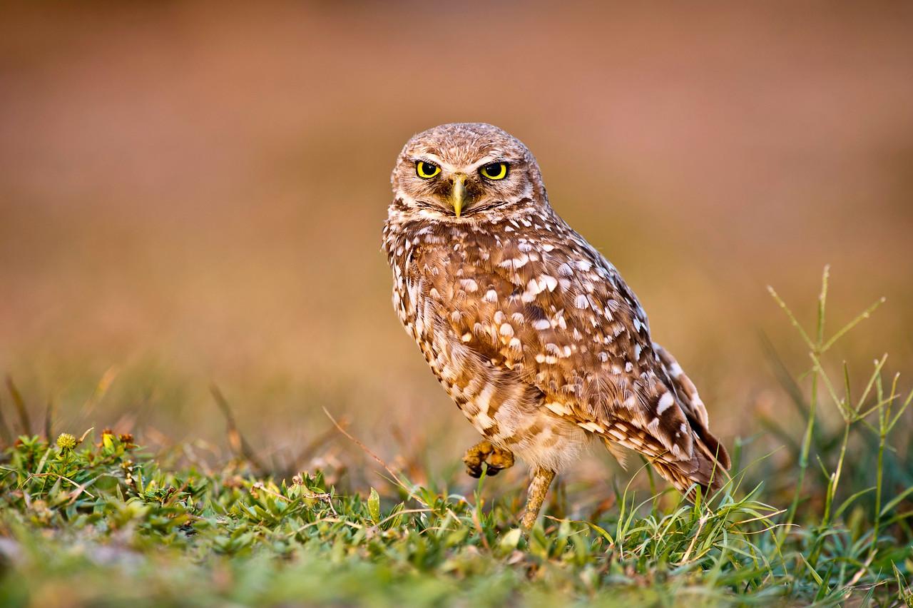 Burrowing Owl Brian Piccolo Park Cooper City, Florida © 2011