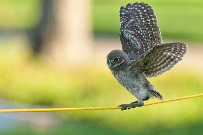 Juvenile Burrowing Owl Walking the Tightrope Brian Piccolo Park Cooper City, Florida © 2012