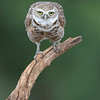 Male Burrowing Owlet in Florida.